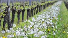 Vine Leaf in spring-Vineyard south west of France, Bordeaux Vine Stock Footage