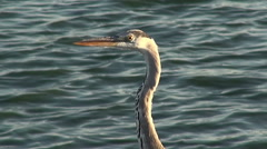 Heron Waiting For Prey Stock Footage