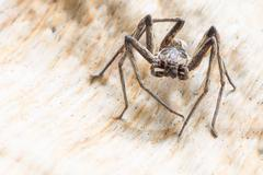 Close up spider , Heteropoda venatoria - stock photo