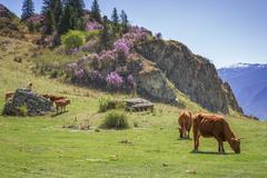 Cows graze on the slopes of  Altai Mountains Stock Photos