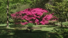 Large pink Azalea in bloom + zoom out Japanese Garden Stock Footage
