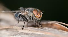 House fly close up - stock photo