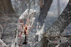 Flaming trunk in the burning forest - the natural disaster caused by an anthr - stock photo