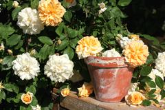 Rambler roses with old flower pot - stock photo