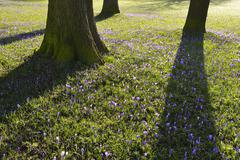 Crocus and Trees in Spring, Husum Schlosspark, Schleswig-Holstein, Germany Stock Photos