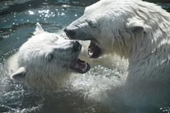 Polar bears play with each other Stock Photos