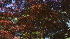low angle + pan Acer Palmatum, Japanese Maple against blue sky - stock footage