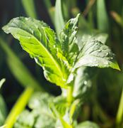 Mint leaves after rain on nature Stock Photos