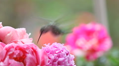 Hummingbird feeds in pink peonies Stock Footage