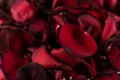 Closeup of Many Dying Red Rose Petals - stock photo