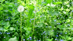 Meadow with many veronica flowers, day nettle and dandelion Stock Footage