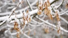 Snow falling on samara fruit seeds of leafless box elder tree Stock Footage
