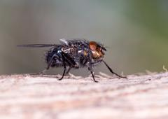 Stock Photo of House fly close up