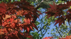 low angle Acer Palmatum, Japanese Maple leaves against blue sky - stock footage