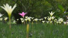 Rain lilies zephyranthes flowers, Pan camera Stock Footage