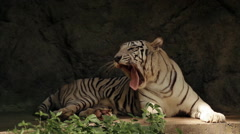 Relaxing white bengal tiger in Singapore Zoo - stock footage