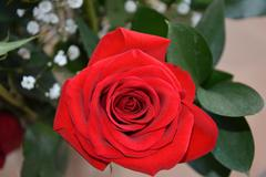 A Single Red Rose - stock photo