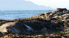 Sleepy Fur Seals Getting Comfy - stock footage