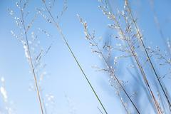 Natural abstract background - bright blue sky and dried grass. Selected soft Stock Photos
