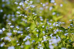 Forget-me-not flowers. Natural summer background. - stock photo