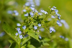 Forget-me-not flowers. Natural summer background. Stock Photos