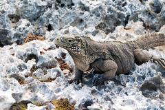 Cuban rock iguana (Cyclura nubile). - stock photo