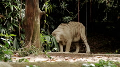 Relaxing white bengal tiger in Singapore Zoo Stock Footage