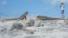 Little boy photographing iguana Stock Footage