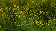 Wild Yellow Buttercups dolly shot Stock Footage