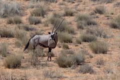 close up portrait of Gemsbok, Oryx gazella - stock photo