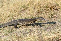 Stock Photo of Monitor Lizard, Varanus niloticus on savanna
