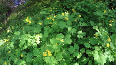 Celandine thickets Stock Footage