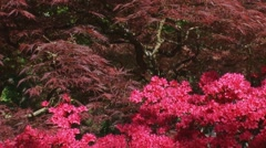 Bright Pink Azalea flowers in front of red leaves Japanese Maple Stock Footage
