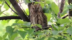 European Scops Owl On A Lime Tree - stock footage