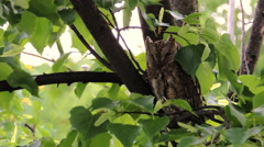 Stock Video Footage of Eurasian Scops Owl On A Branch