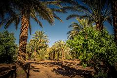 Palm tree coltivation - stock photo