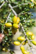 Fresh fruit of Argan tree on the branch Stock Photos