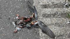 Dead bloody bird on asphalt being eaten by flies Stock Footage