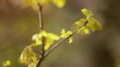 Young oak leaves on tree in spring sunlight, prores footage Stock Footage