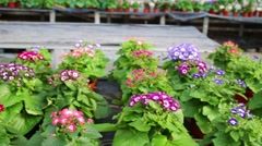 Rows of beautiful flowers with cineraria in the greenhouse Stock Footage