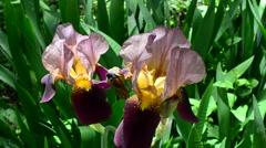 Spring flowers, shooting of macro Stock Footage