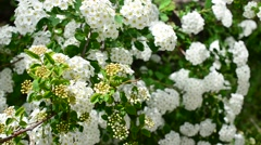Spirea alpine spring flower - white flowering shrub Stock Footage