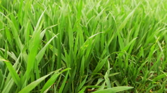 Fresh Green Wheat Grass Stock Footage
