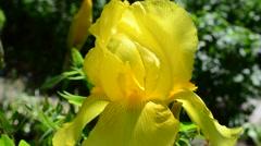 Iris flower Stock Footage