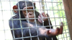 Monkey is asking about meal through the grid in zoo Skazka. Stock Footage