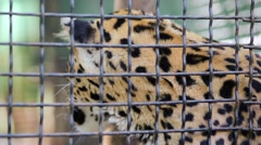 Leopard is licking hand of man through the grid in zoo Skazka. Stock Footage