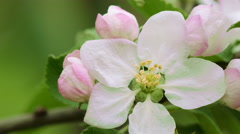 Branch of apple tree in bloom in the spring Stock Footage