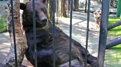 Bears are resting in cage and on of them is scratching his belly. Stock Footage