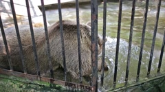 One big bear is washing his face in reservoir at zoo Skazka. Stock Footage