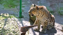 Leopard is sitting on rock in zoo Skazka in Yalta, Ukraine. Stock Footage
